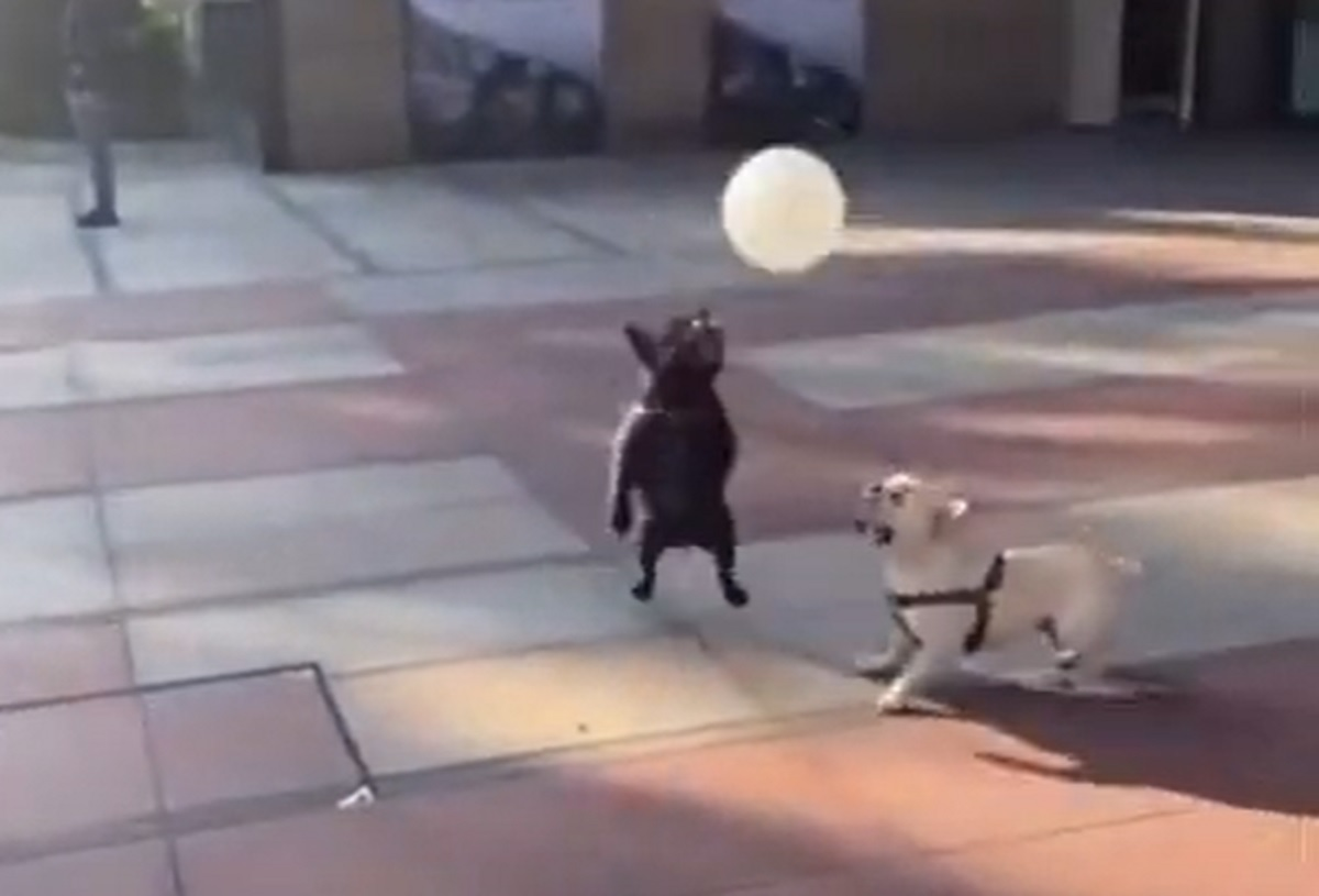 Cuccioli di Bulldog inventano un nuovo gioco con il palloncino, il video è una perla del web