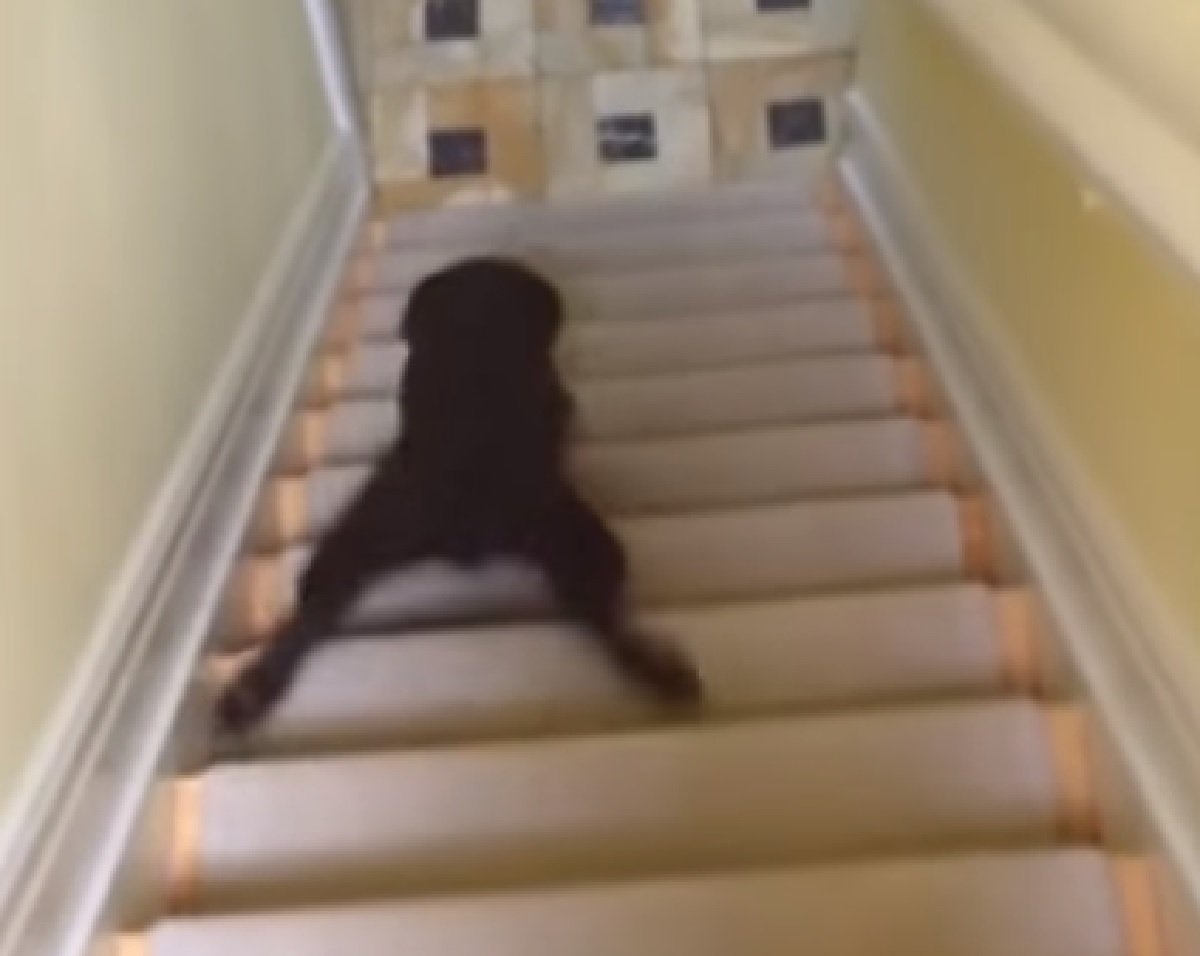 Cuccioli di cane alle prese con le scale, vediamo nel video i loro geniali modi di affrontarle
