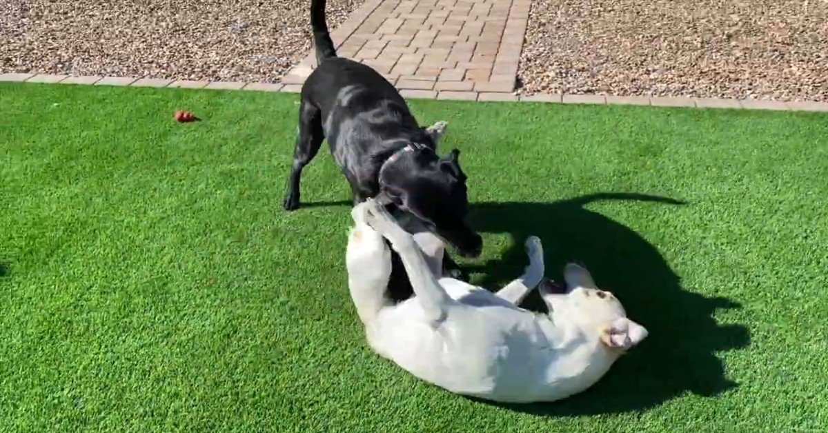 Due cuccioli di Labrador ricevono una sorpresa dai loro padroni (VIDEO)