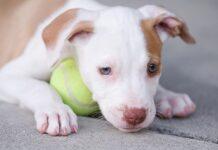 cucciolo di pitbull con pallina