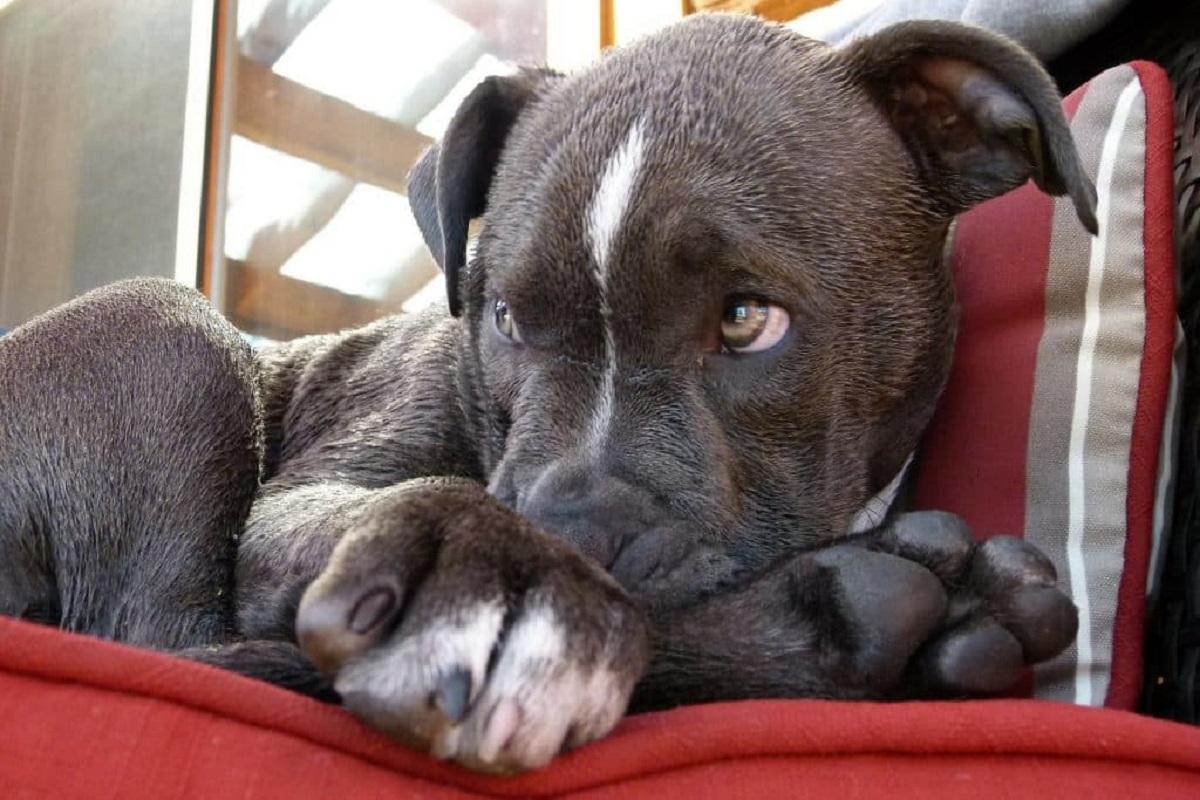Cuccioli di Pit Bull: carattere, particolarità e comportamento, cosa sapere