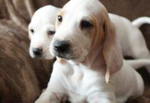 due cuccioli di razza porcelaine