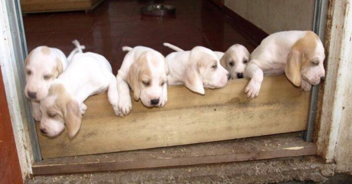 gruppo di cuccioli di porcelaine