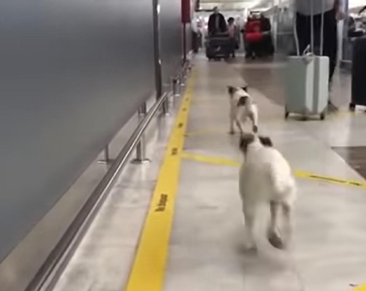 Cuccioli Jack Russell incontrano il proprietario dopo tanto, il video realizzato in aeroporto è indescrivibile