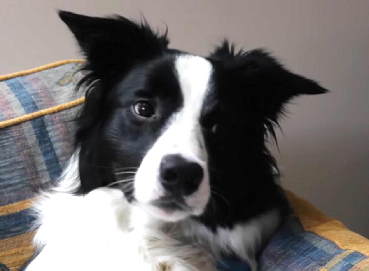 cooper cucciolo border collie video