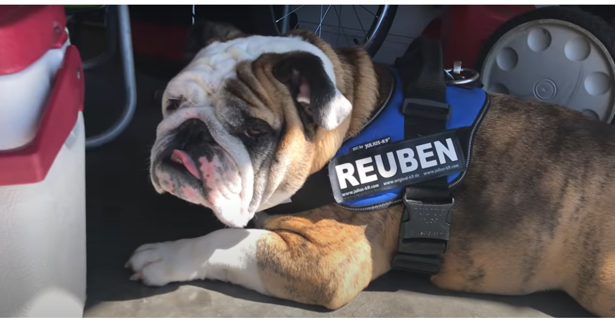 Cucciolo di Bulldog inglese soffre a causa della pandemia (VIDEO)