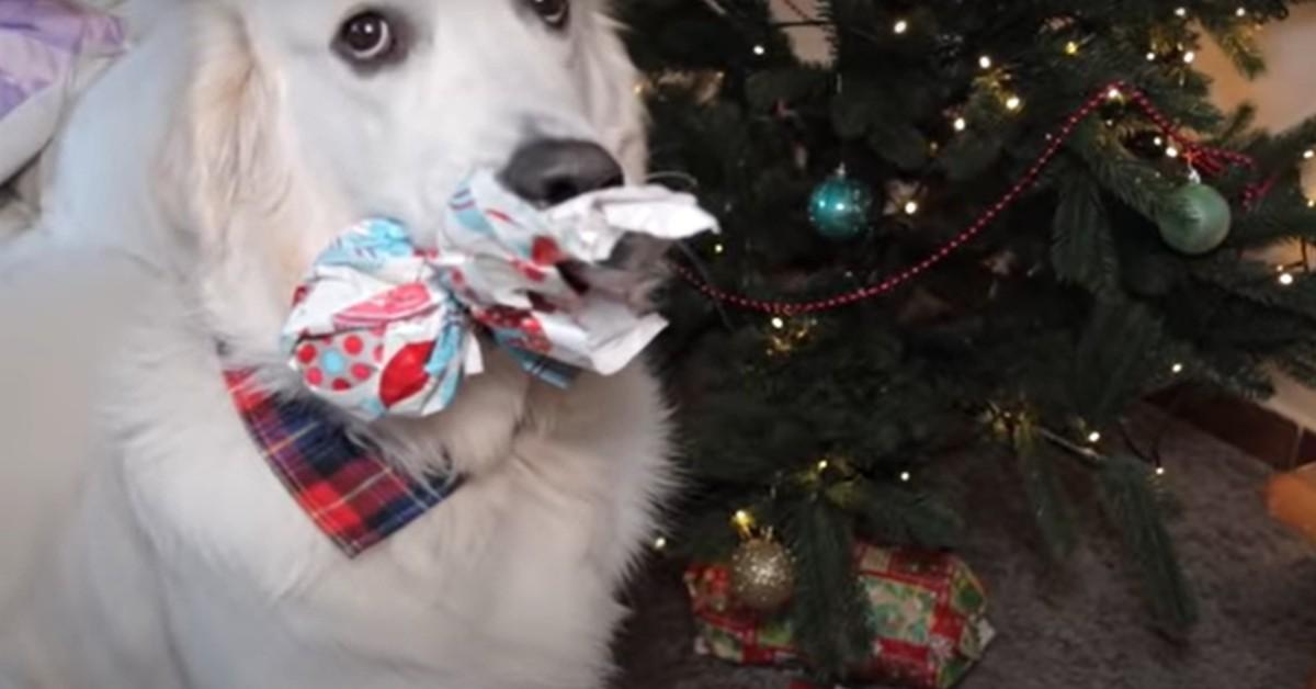 Bailey il cucciolo di Golden Retriever incarta i regali di Natale (VIDEO)