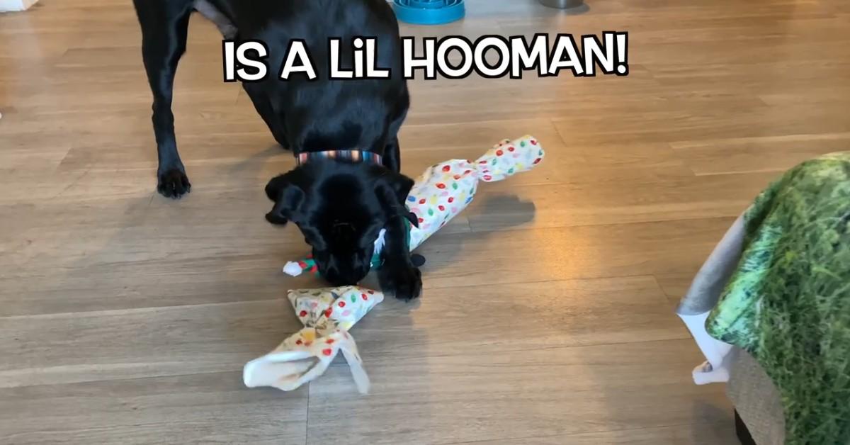Un cucciolo di Labrador apre i regali di Natale in anticipo con il padrone (VIDEO)
