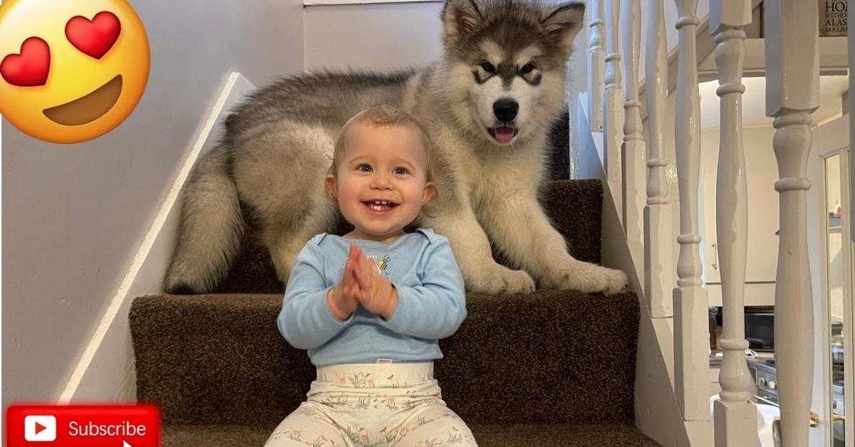 Cucciolo di Malamute sale le scale e le scende con la sua sorellina umana (VIDEO)