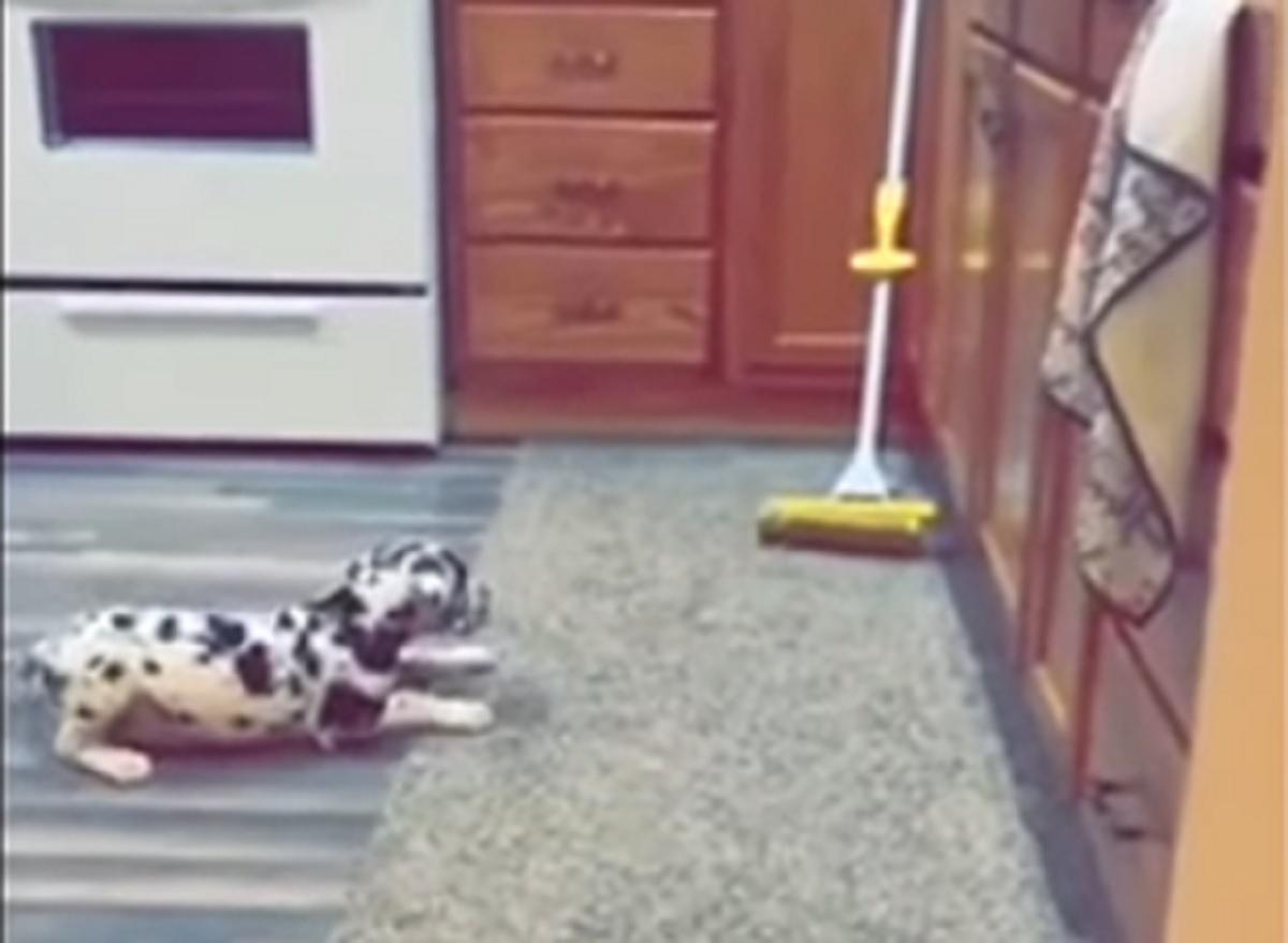 Cucciolo di Alano vede un mocio per la prima volta, la sua reazione in video è spropositata