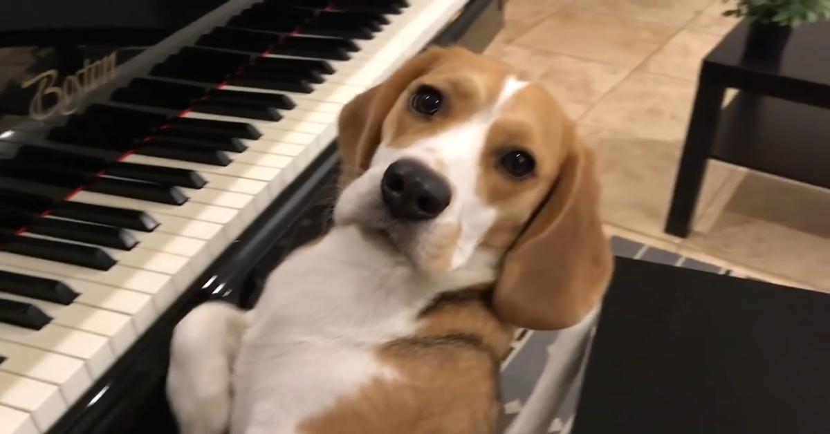 Cucciolo di Beagle suona il pianoforte mentre i padroni lo filmano divertiti (VIDEO)