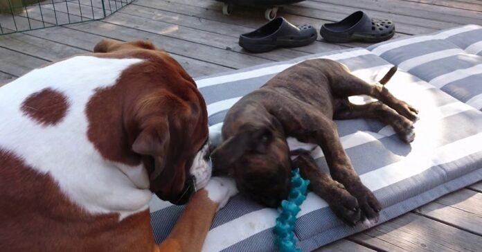 boxer cucciolo aiuta