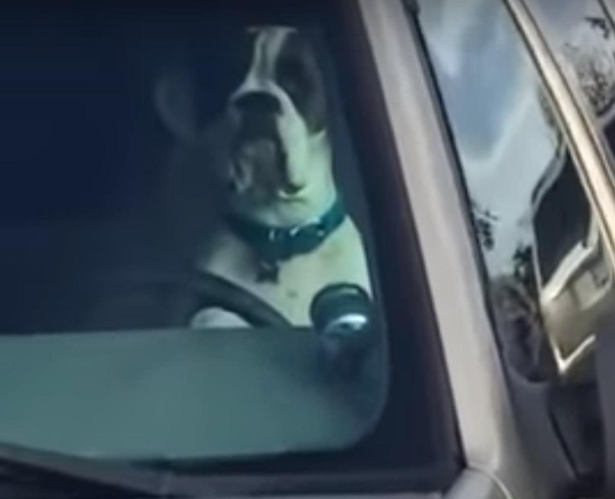 Cucciolo di Boxer usa il clacson per chiamare l'attenzione delle persone, il video del gesto diventa virale