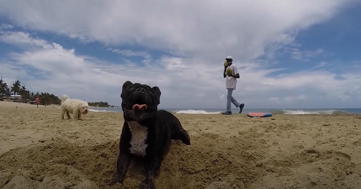 Cucciolo di Bulldog Francese sulla tavola da surf conquista il web, il video è da non perdere