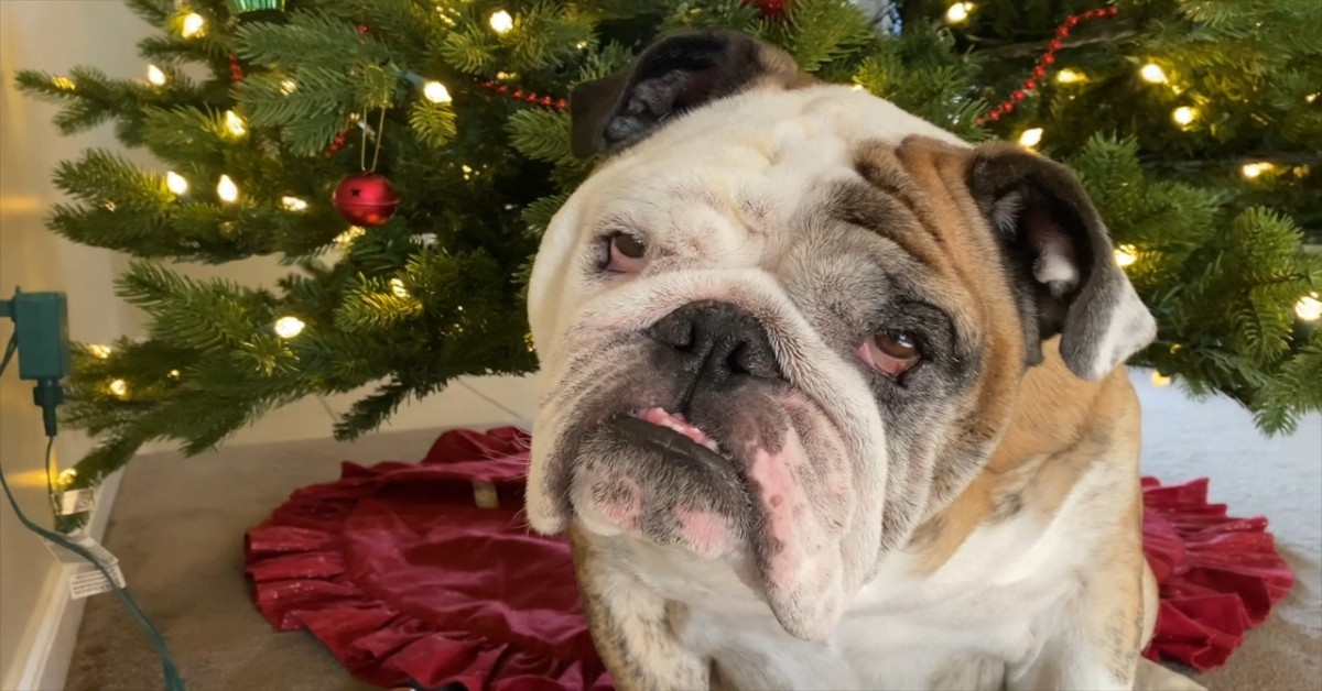 Un cucciolo di Bulldog inglese Reuben è felice per l'albero di Natale (VIDEO)