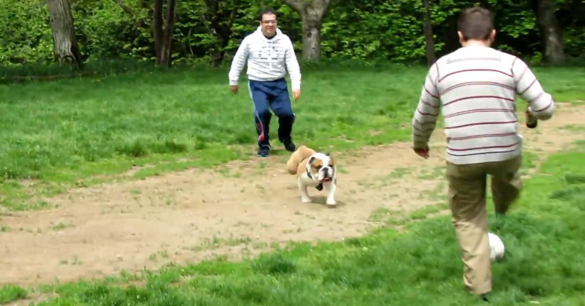 Un cucciolo di Bulldog inglese gioca a palla con il padrone e gli amici (VIDEO)