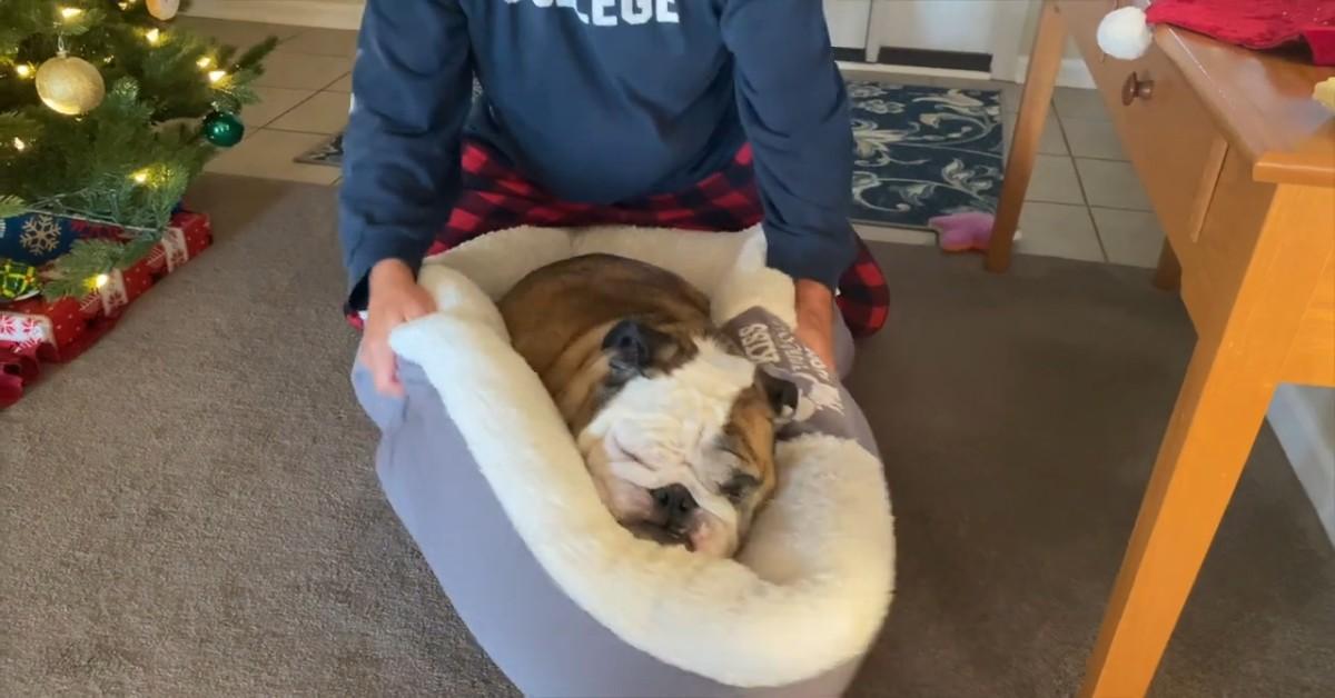 Cucciolo di Bulldog inglese sta male con gli occhi e il padrone ha un'idea (VIDEO)