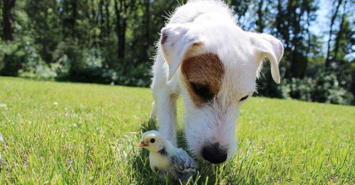 cucciolo di cane accolto da una famiglia di anatre