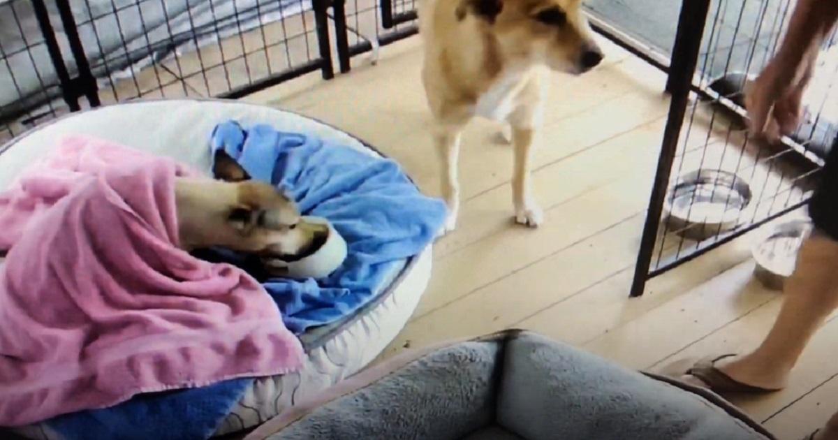 Cucciolo di cane non vuole affatto alzarsi dal letto, nel video capiamo l'esilarante motivo