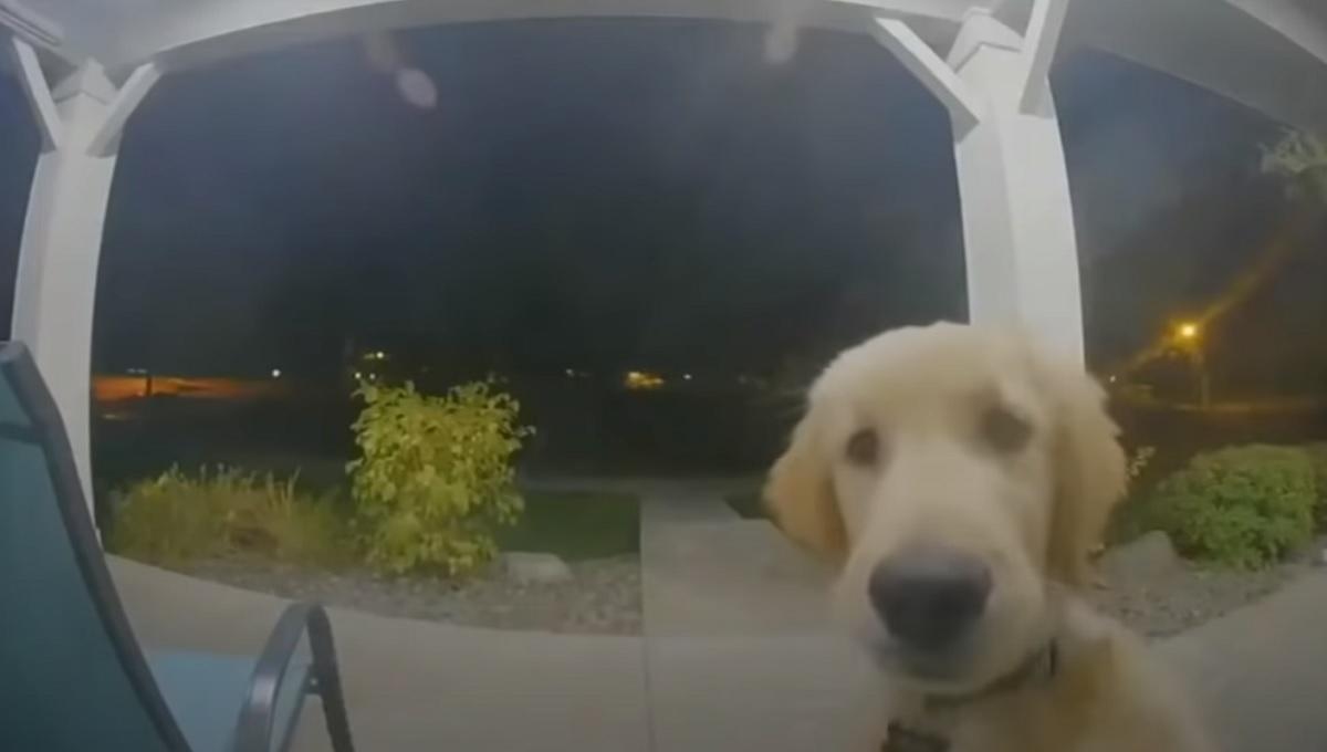 Cucciolo Labrador vuole rientrare in casa, il simpatico video ci mostra il suo singolare metodo