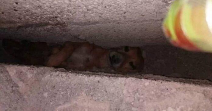 Cucciolo chihuahua intrappolato