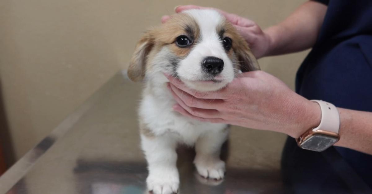 Cucciolo di Corgi va dal veterinario con il padrone per un controllo (VIDEO)