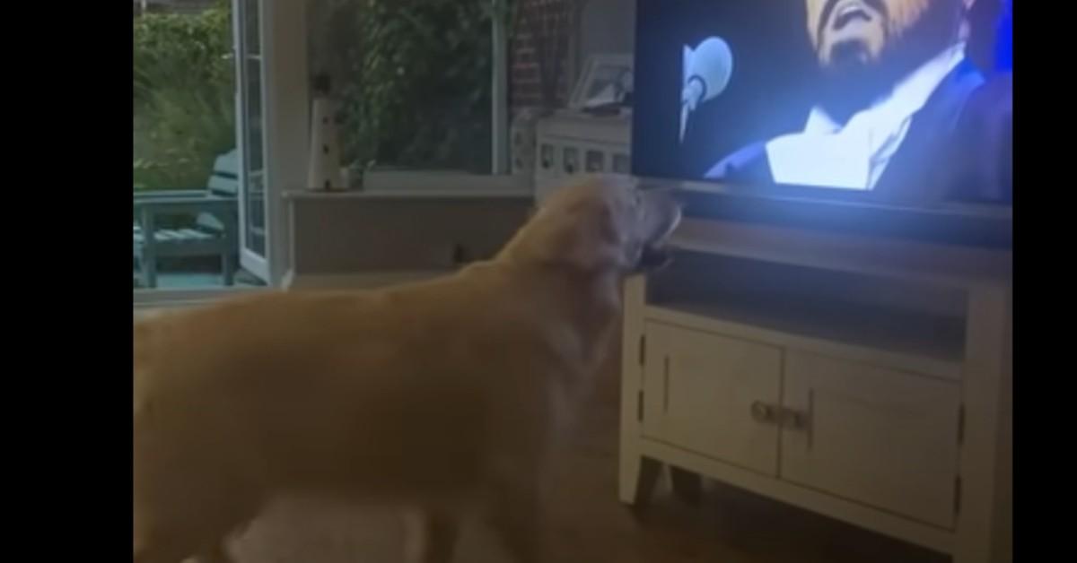 Il cucciolo di Golden Retriever canta davanti alla televisione (VIDEO)