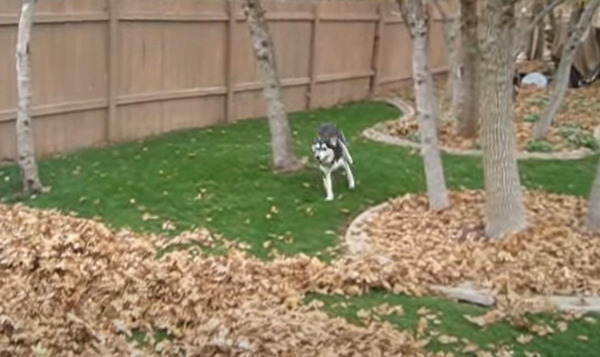 Cucciolo di Husky stupisce il web giocando con un mucchio di foglie, quello che fa in video è assurdo