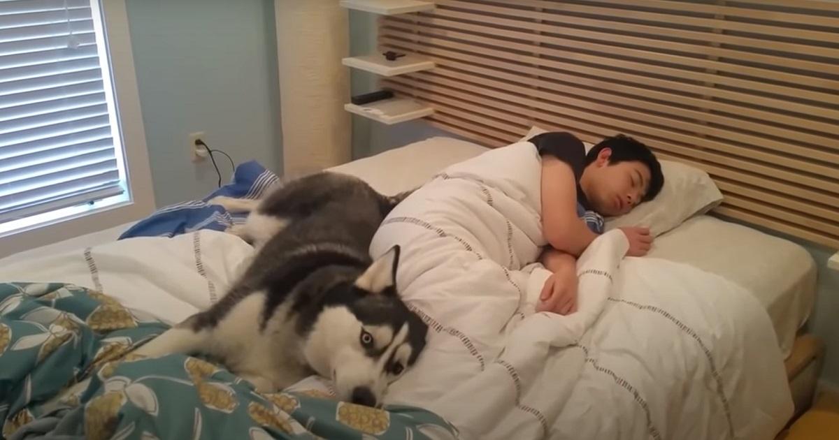 Un cucciolo Husky diventa la sveglia perfetta per il proprietario, nel video la reazione della coppia