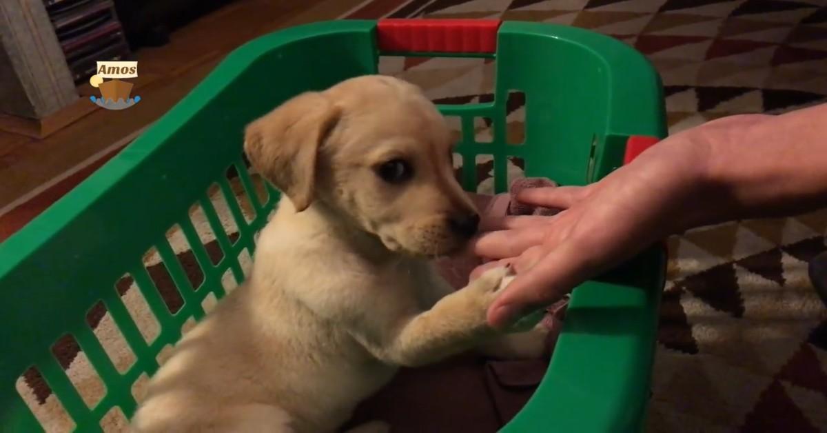 Un cucciolo di Labrador arriva nella nuova casa e inizia ad ambientarsi (VIDEO)