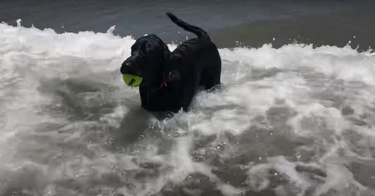 Cucciolo di Labrador va al mare per la prima volta, la sua emozione nel video è indescrivibile