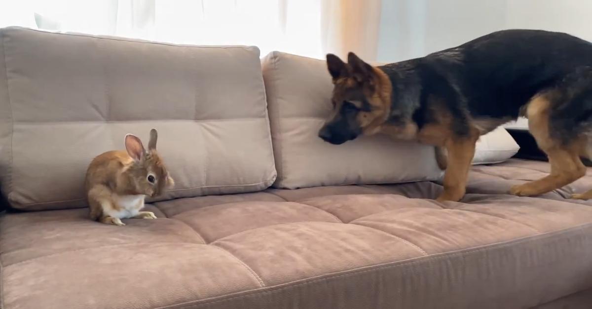 Un cucciolo di pastore tedesco Rocky gioca con un coniglio dolcissimo (VIDEO)