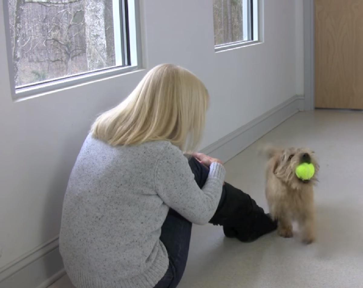 Cucciolo Norfolk Terrier non sa contenere la sua gioia, esilaranti sono i suoi versi in video