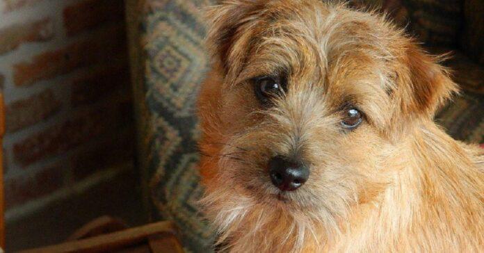 cucciolo norfolk terrier non sa contenere gioia esilaranti versi