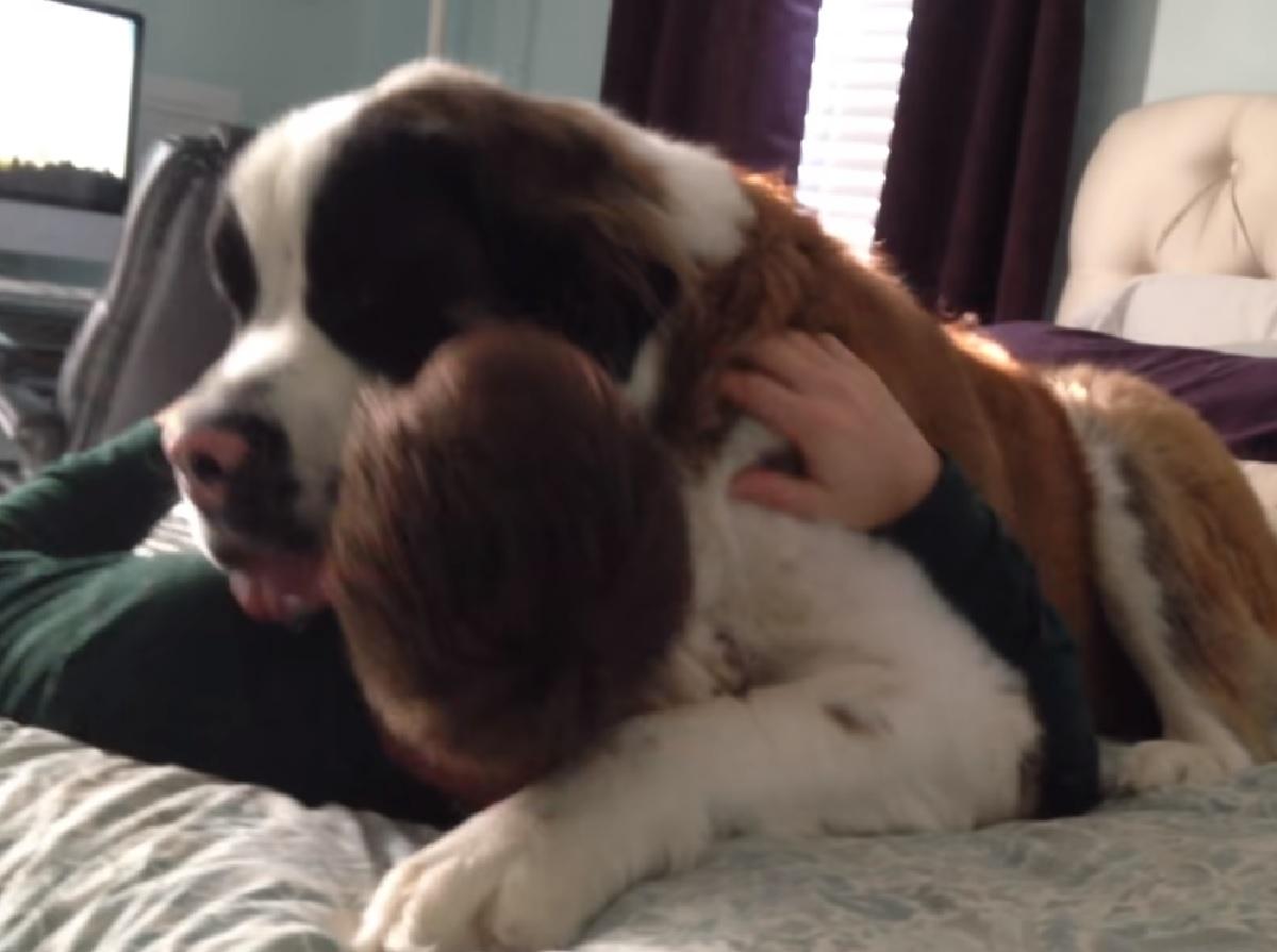 Cucciolo San Bernardo abbraccia il papà, questi è obbligato, il video ce lo dimostra
