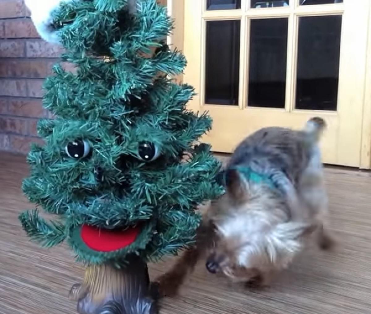 Cucciolo Silky Terrier alle prese con un albero di Natale parlante, il video vi migliorerà la giornata
