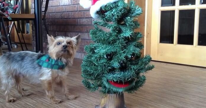 cucciolo silky terrier alle prese con albero natale parlante video