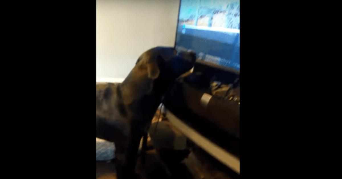 Apollo, un cucciolo di cane che reagisce buffamente quando il padrone mette in pausa il suo programma preferito (VIDEO)