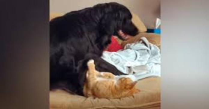 cane gioca con gatto