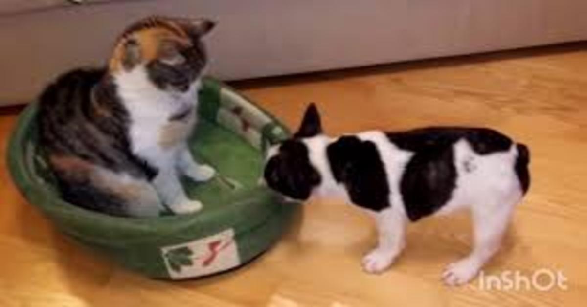 Il cucciolo di Bulldog Francese litiga con un gatto che gli occupa la cuccia e intenerisce l'intero web  (VIDEO)