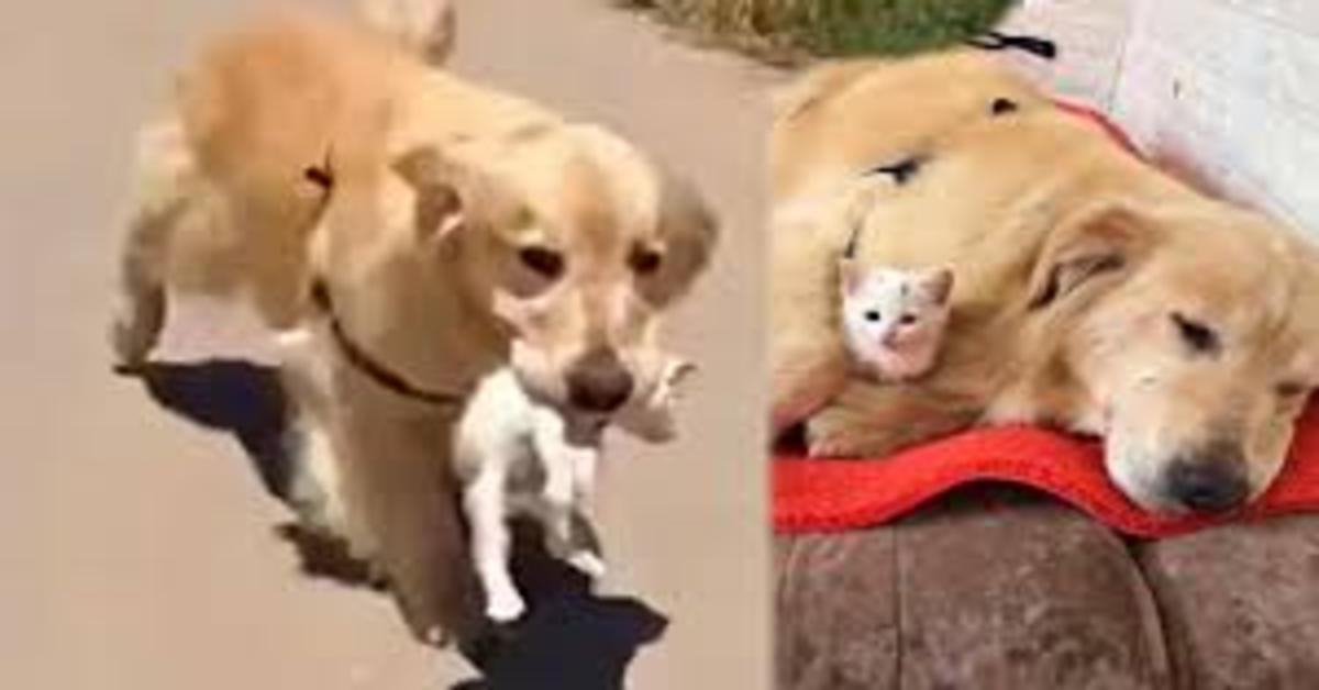 Doggo, il cucciolo di Golden Retriever che ha salvato un gattino abbandonato e in pericolo (VIDEO)