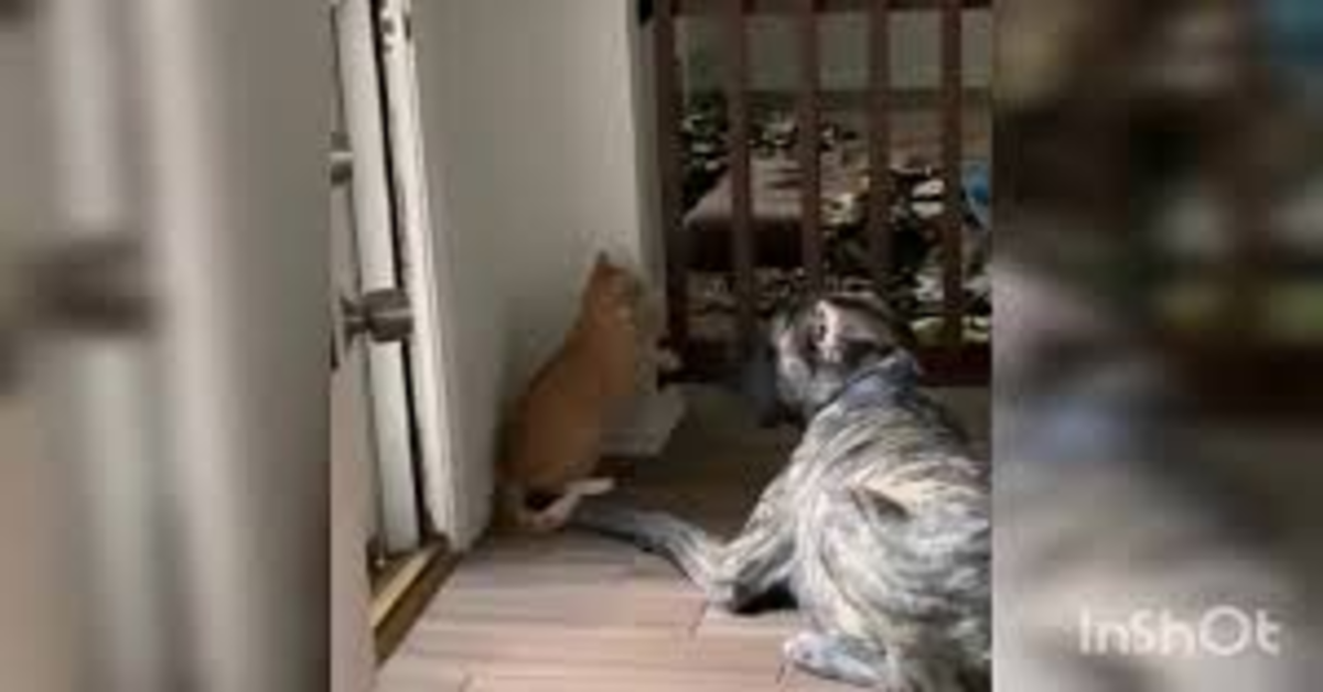 Il dispettoso cucciolo di Alano non smette di infastidire un gatto e quest'ultimo lo castiga rinchudendolo in un recinto (VIDEO)