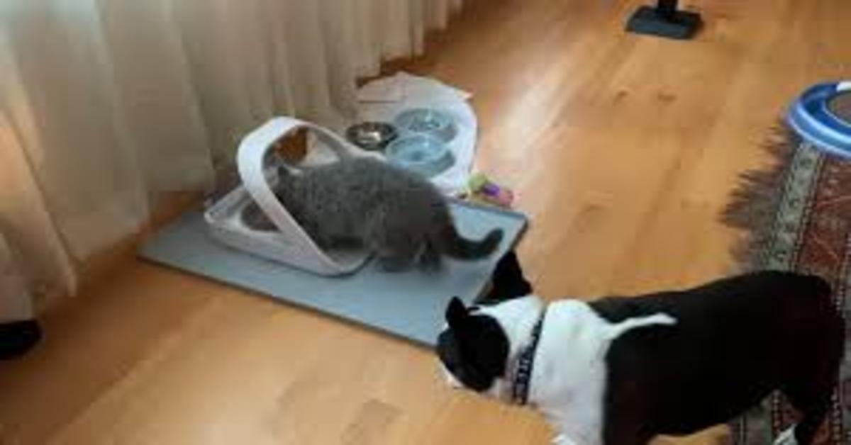 La delusione del cucciolo di Bulldog Francese al non riuscire a mangiare il cibo del gatto (VIDEO)