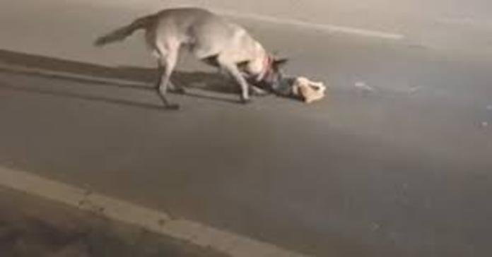 cane cerca di svegliare gatto morto