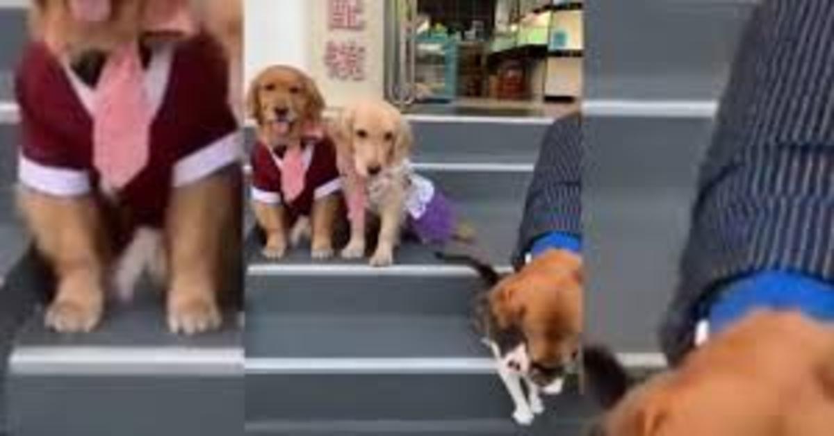 Il gattino non vuole apparire nella foto di famiglia con tre cuccioli di Golden Retriever e uno di loro lo obbliga (VIDEO)