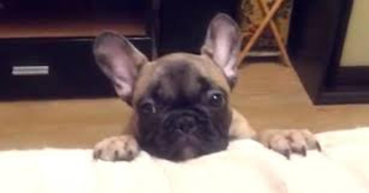 Alice, una adorabile cucciola di Bulldog Francese, sa bene come convincere il padrone a farla salire sul divano (VIDEO)