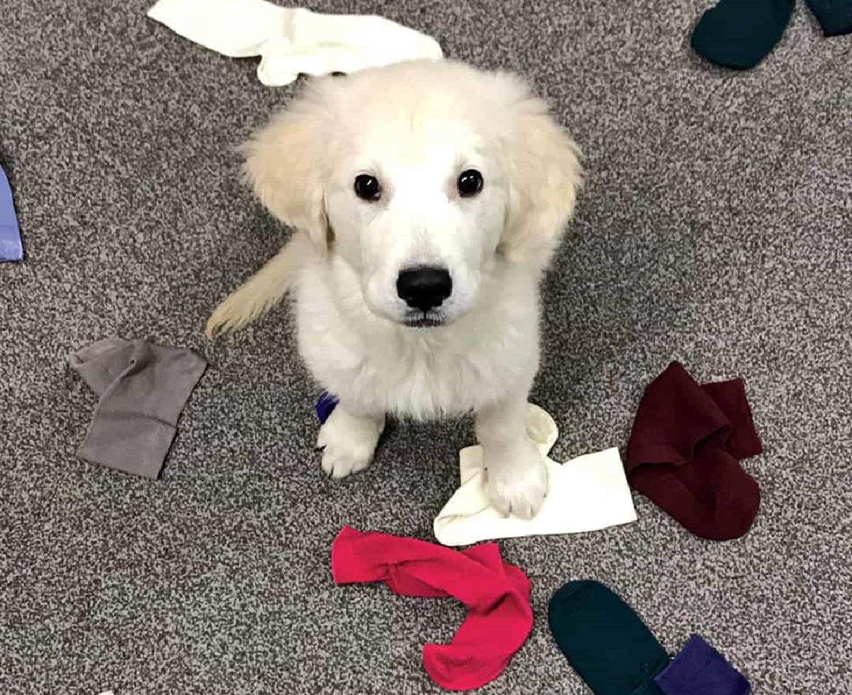 Ecco perché i cani hanno una passione incredibile per i calzini e non possono non rubarli