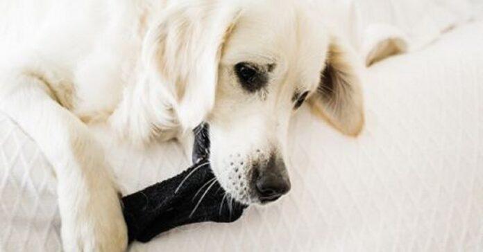 ecco perché i cani hanno una passione incredibile per i calzini e non possono rubarli