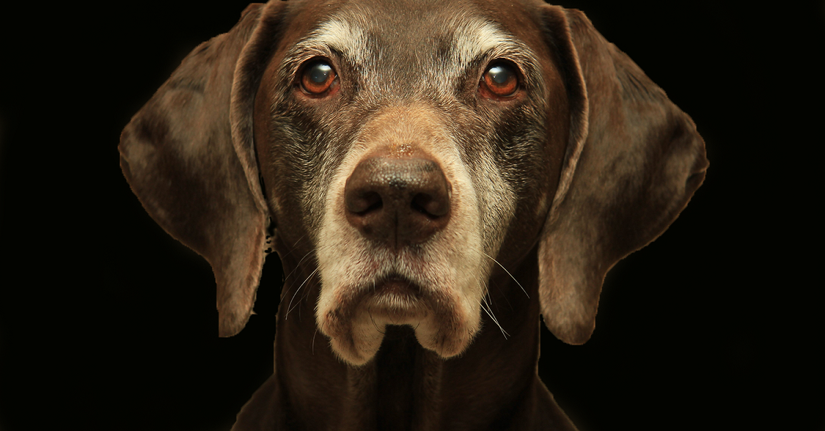 cane anziano serio