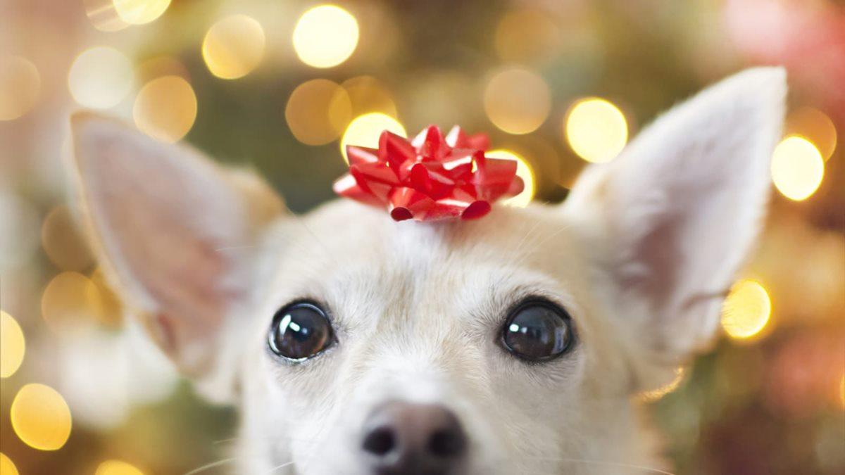 cane come un pacco regalo